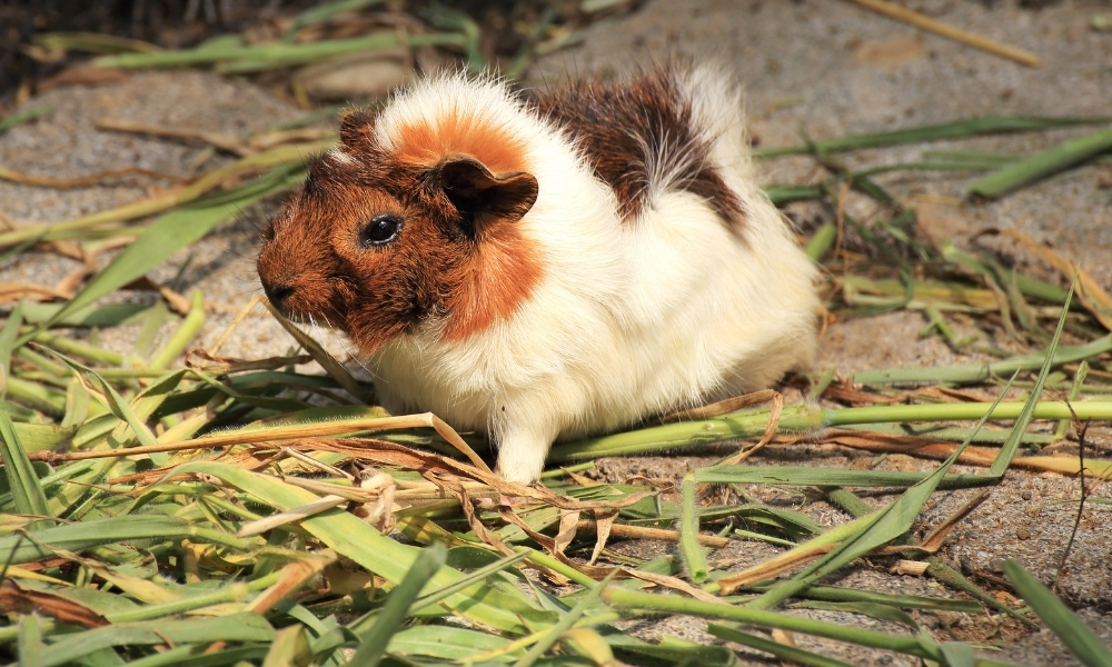 Are Guinea Pigs Herbivore Carnivore or Omnivore