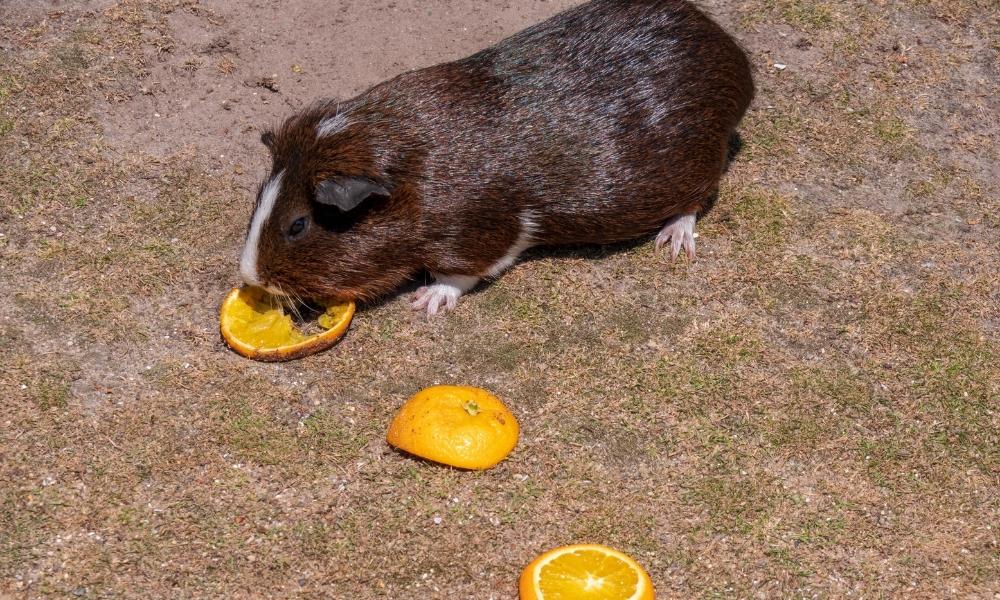 Guinea Pig Eating Oranges