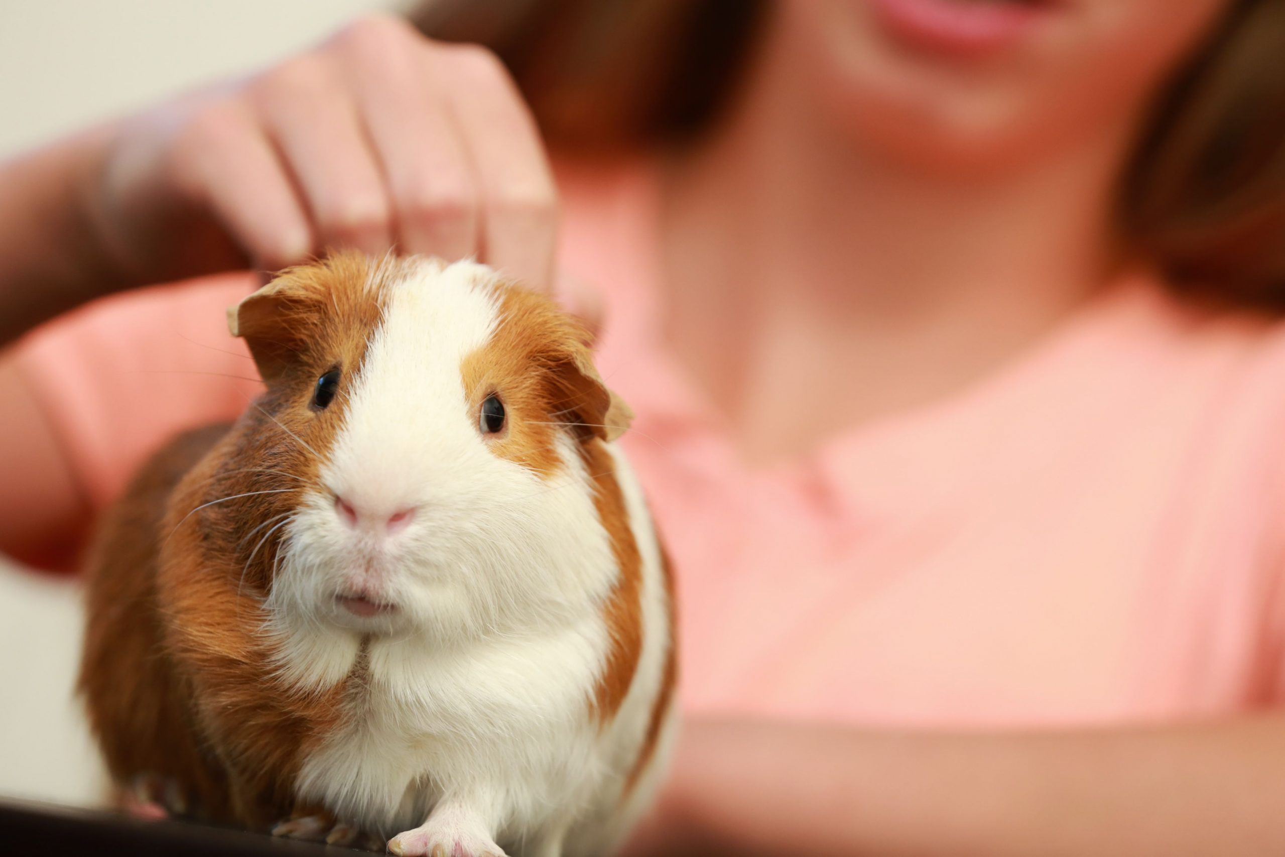 guinea pig enjoys being petted at its back