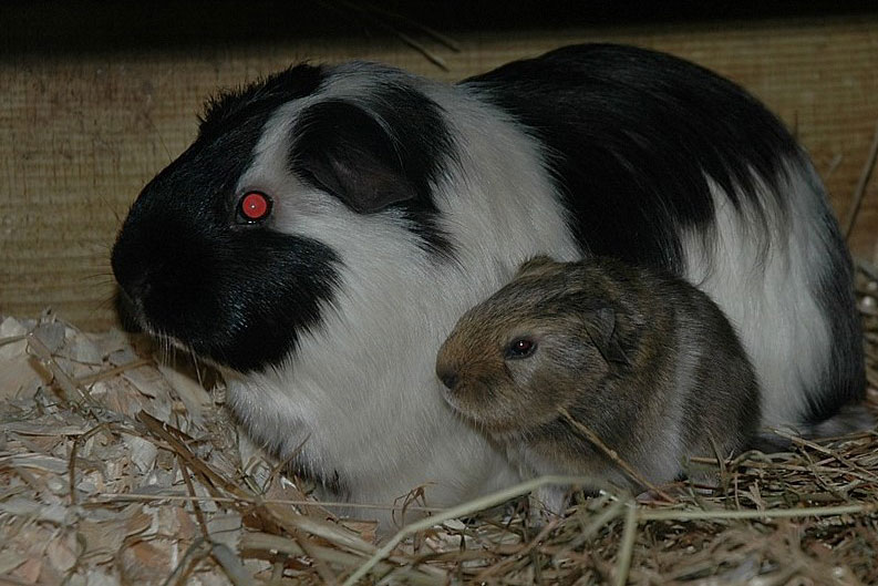 guinea pigs rest like rodents