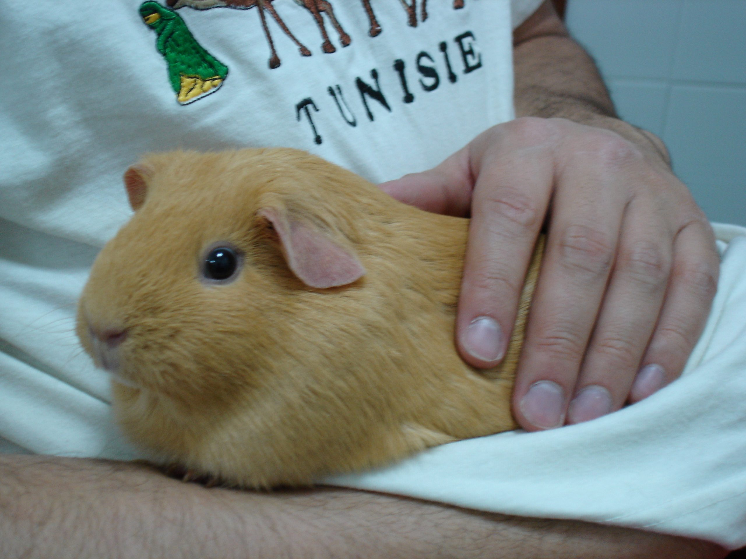 guinea pig calmly enjoys being held and petted
