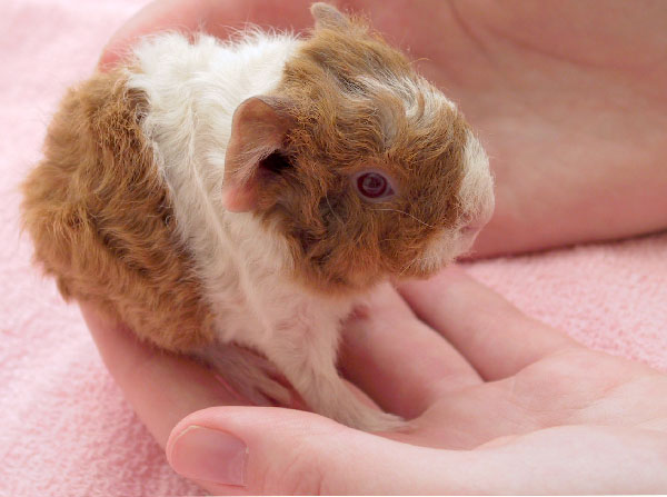 baby guinea pig held in a hand