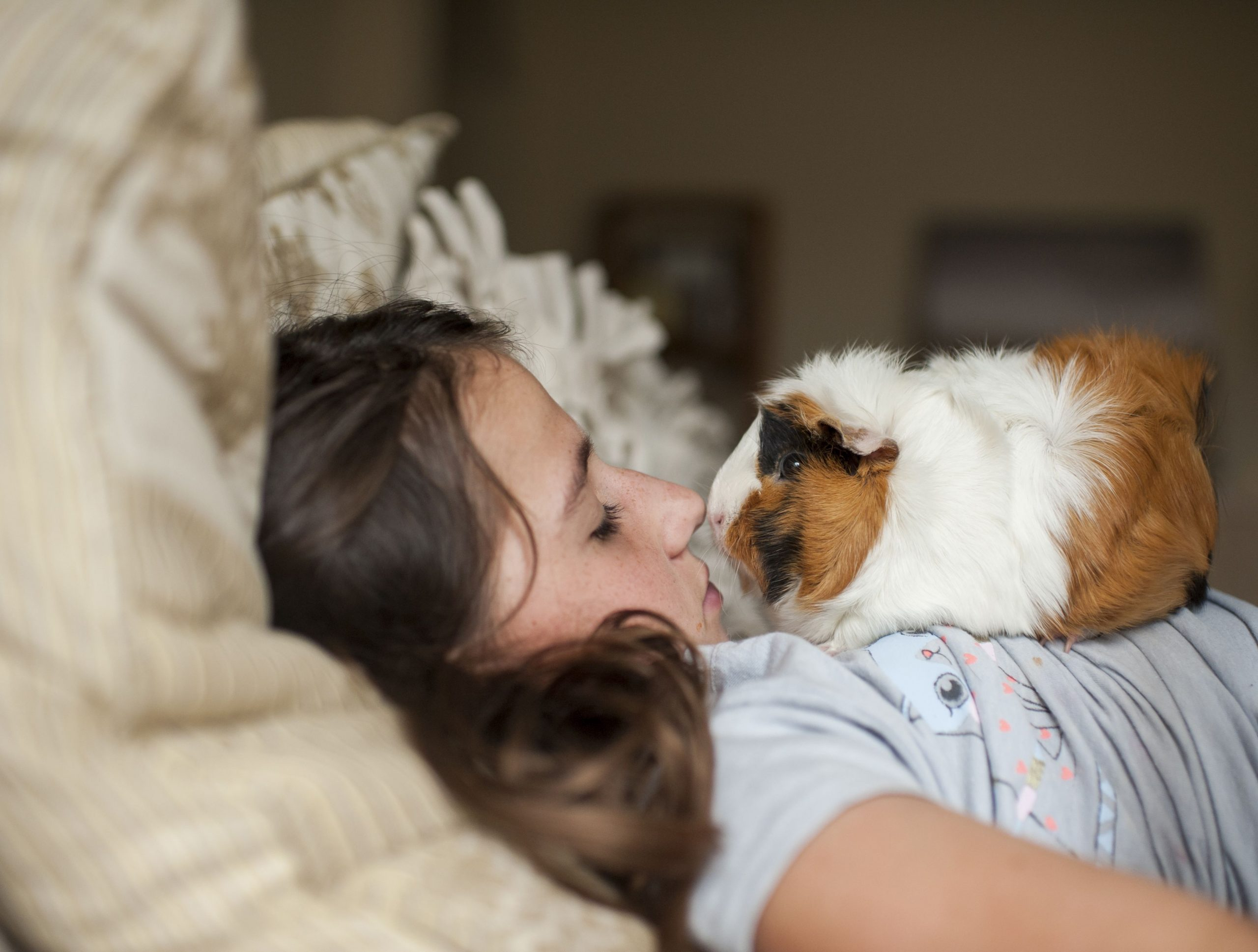 girl making her guinea pig comfortable to be petted