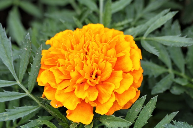 Guinea pigs can eat  marigold