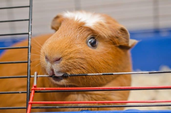 guinea pig biting the meal wire cage