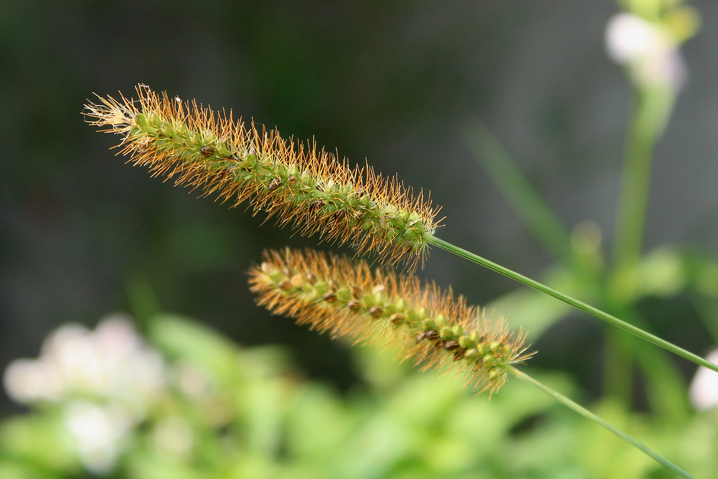 timothy grass - a type of grass the guinea pigs eat
