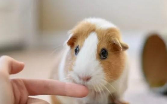 guinea pig not biting a human