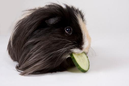 Guinea Pig Eating Cucumber