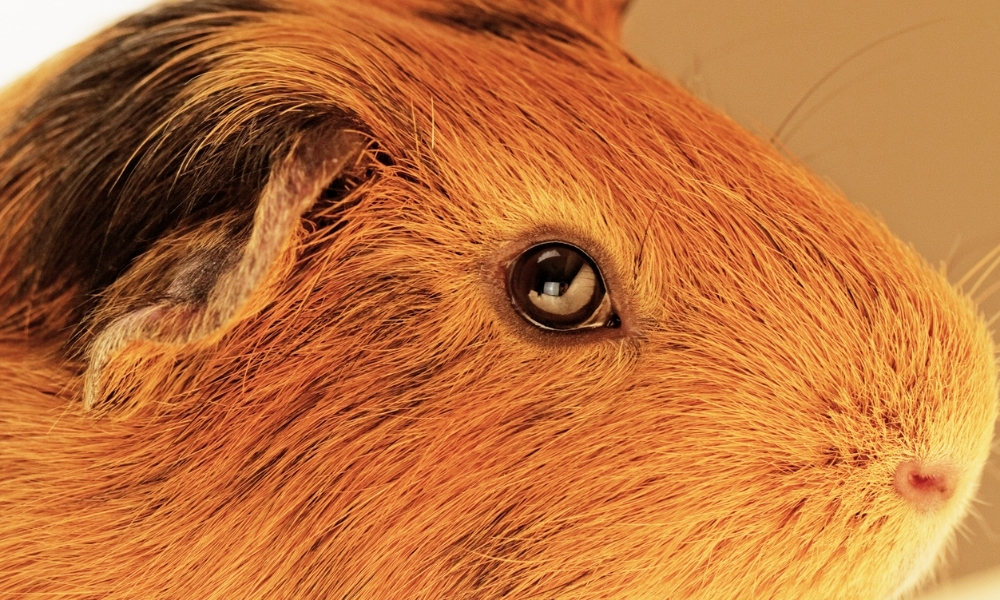 Good Eyesight for Guinea Pigs - Benefit of Feeding Carrots