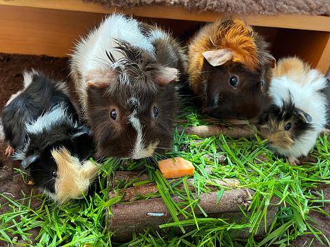 Guinea Pigs Eating Sweet Potatoes