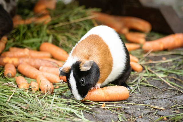 photo of guinea pig eating carrots