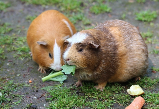 photo of guinea pigs eating celery leaves