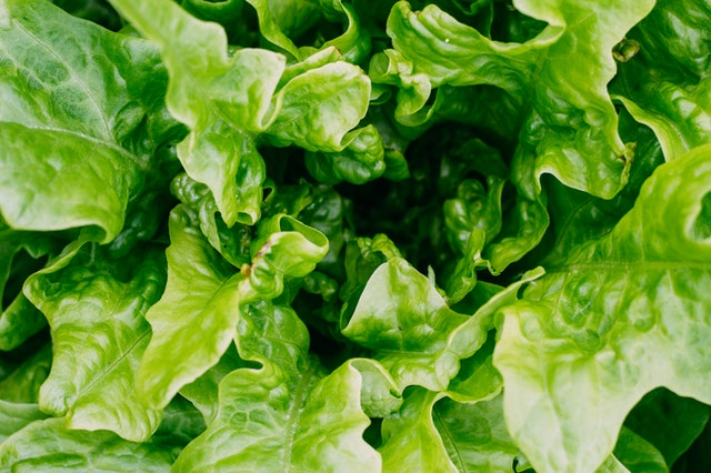 celery lettuce-a healthy food option for guinea pigs