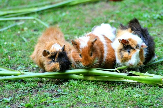 guinea pigs eating celery stalks