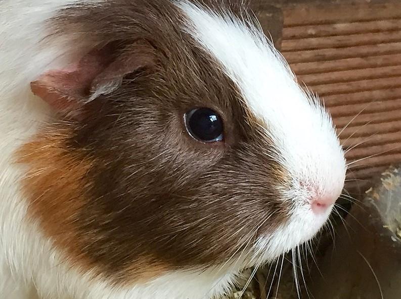 a very cuddly guinea pigs close up shot