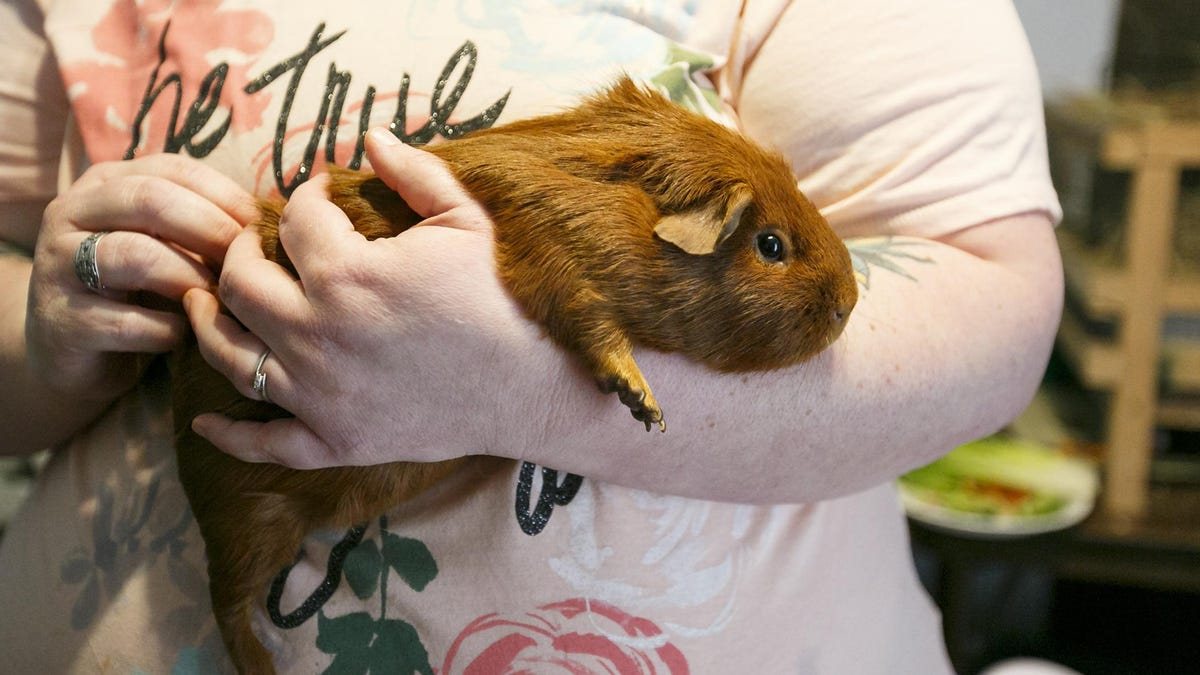 cavies love being petted by owner