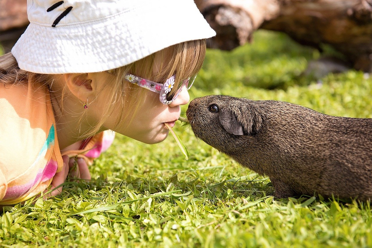 kids are safe to play around with guinea pigs
