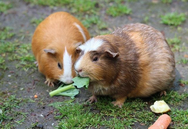guinea pig girl pairs