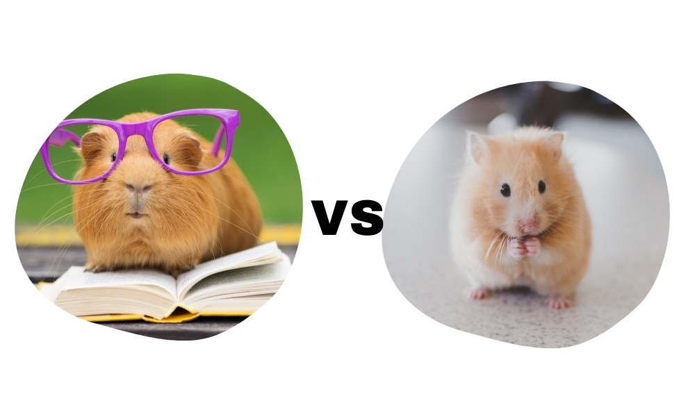 Comparing a Guinea Pig vs a Hamster's intelligence