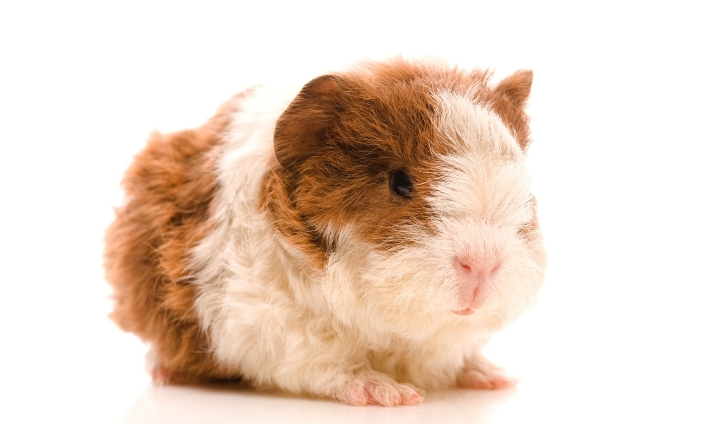 Baby Guinea Pig Ready to Eat Green Beans