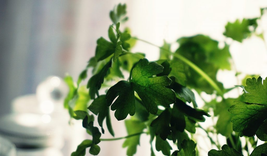 A picture of cilantro leaves as a food for guinea pigs