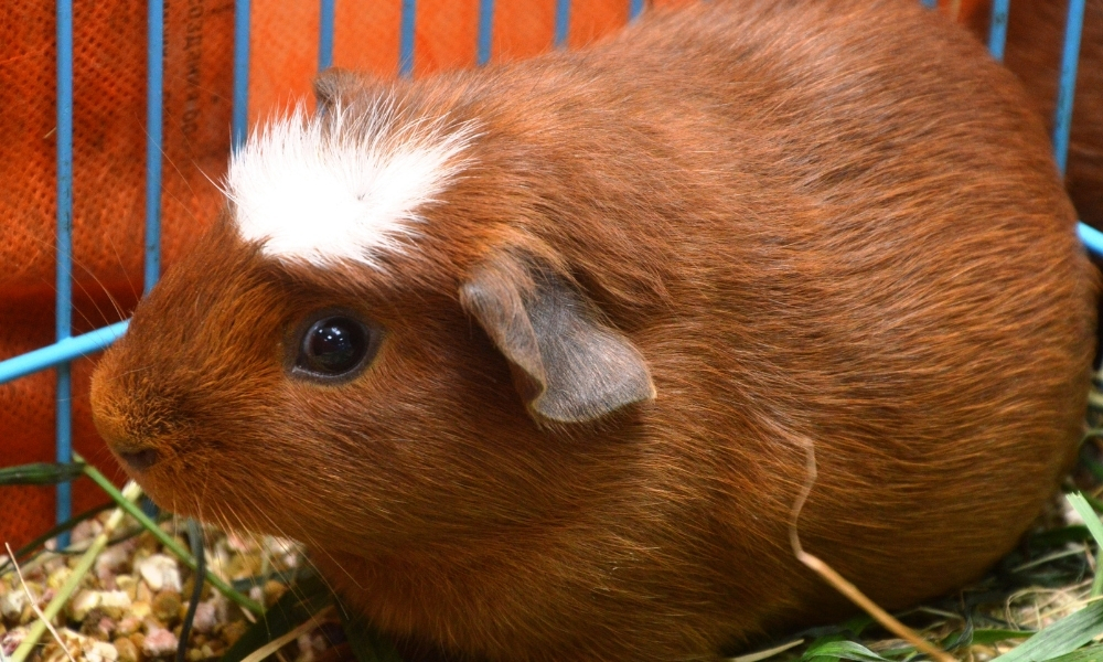 Bloated Guinea Pig Due to Eating Excessing Cilantro