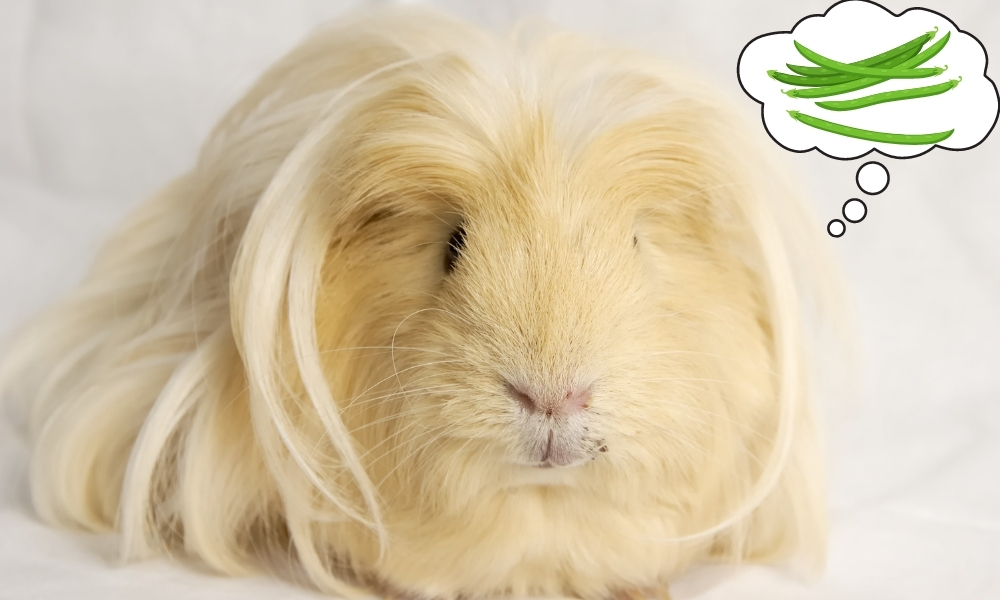 Giving Green Beans to a Guinea Pig