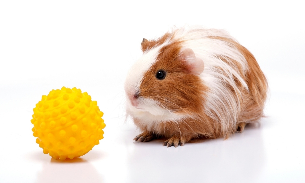 Training Your Guinea Pigs for Ball Passing