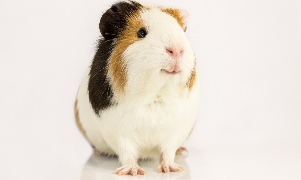Guinea Pig reacting to his name - showing happiness