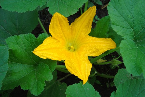 Zucchini Flowers - Food for Guinea Pigs