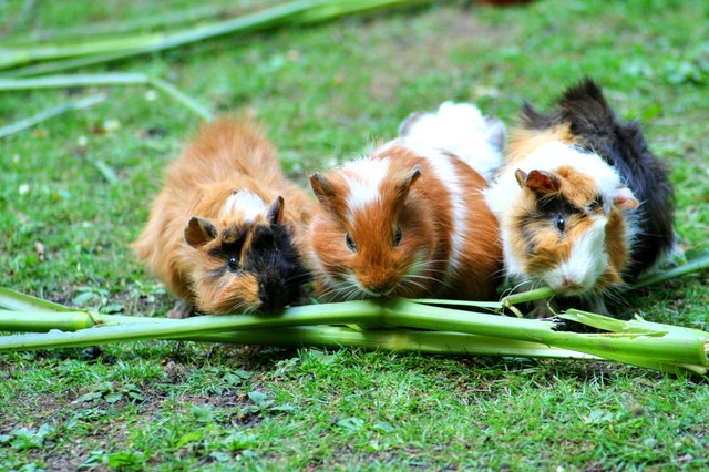 A picture of guinea pigs eating asparagus in moderation