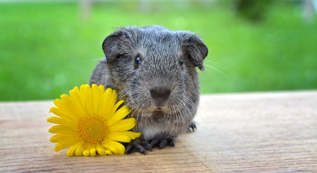 A guinea pig during summer