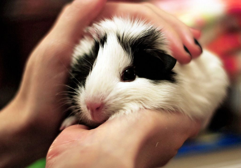 A picture showing a picture of guinea pig being petted