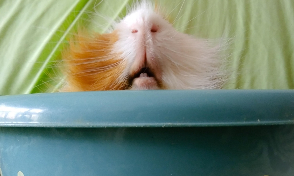 Guinea Pig with Overgrown Teeth