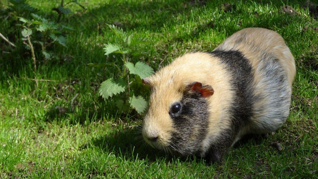 A guinea pig in the wild