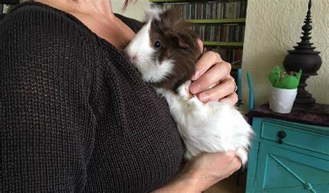 A picture of a guinea pig showing affection to its owner