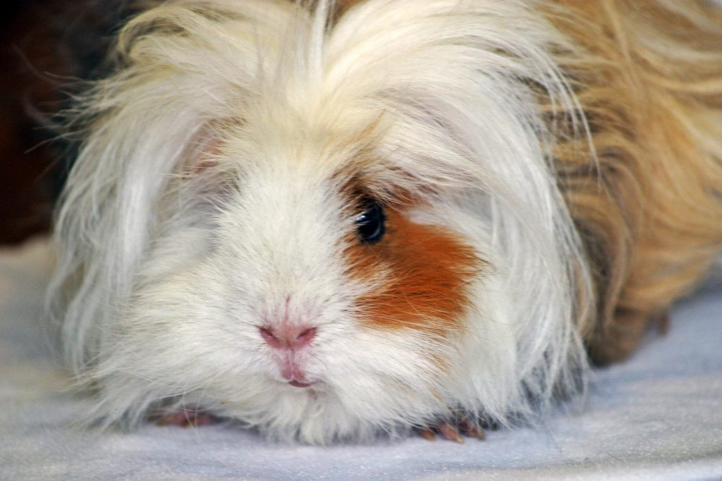 A long-haired guinea pig