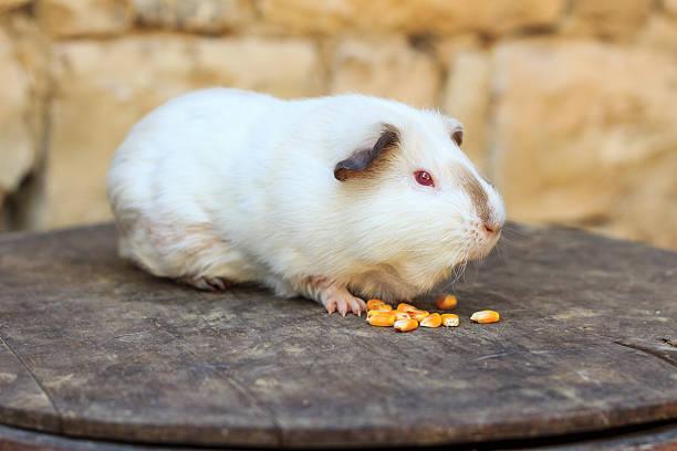Guinea Pigs Eating Corn