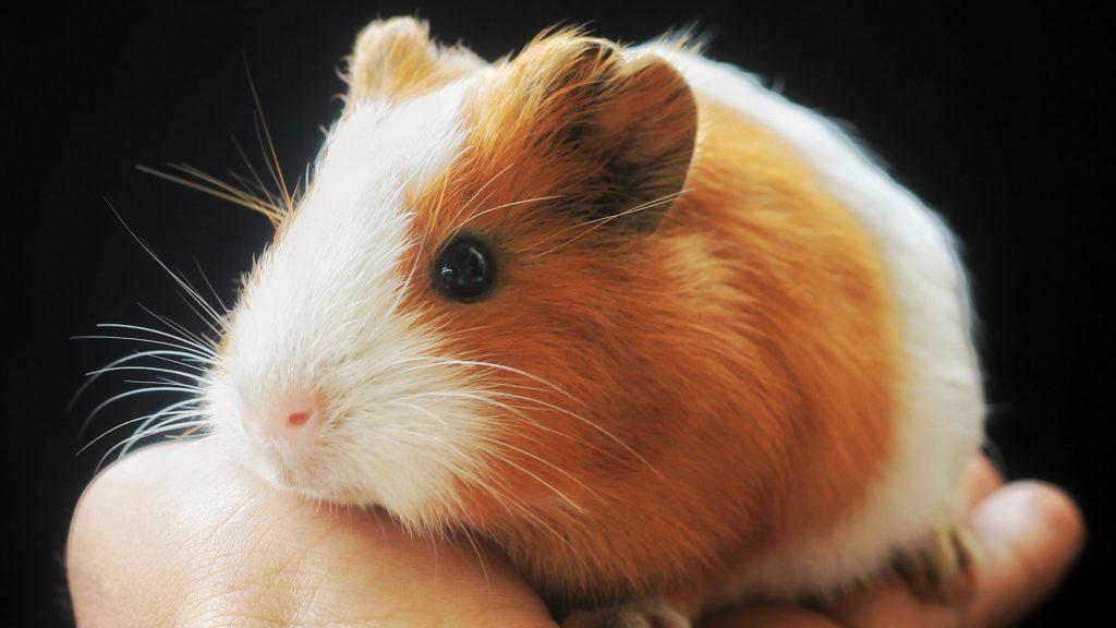 a weak guinea pig