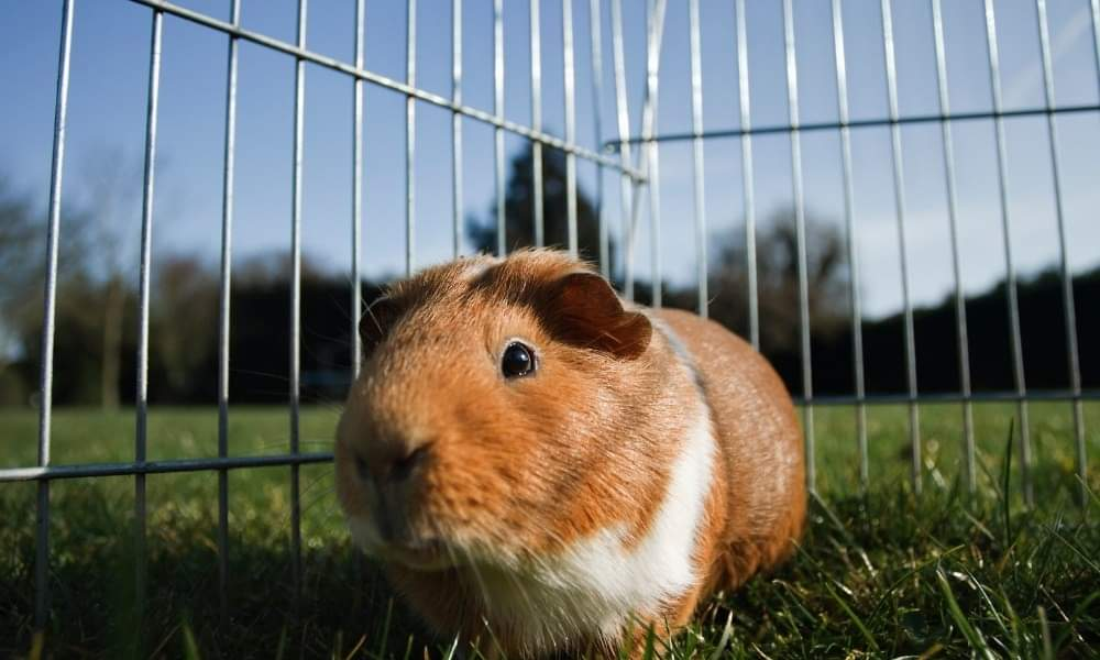 A guinea pig in a small cage