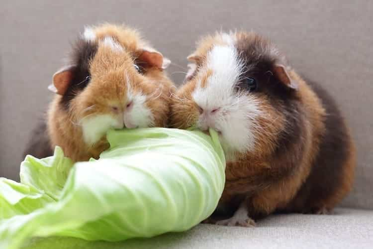 too much cabbage diet can kill guinea pigs