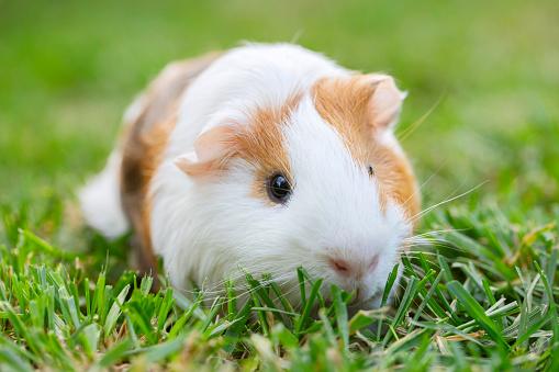 Guinea Pig Eating Grass
