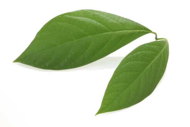 Avocado Leaves - Not a Food for Guinea Pigs