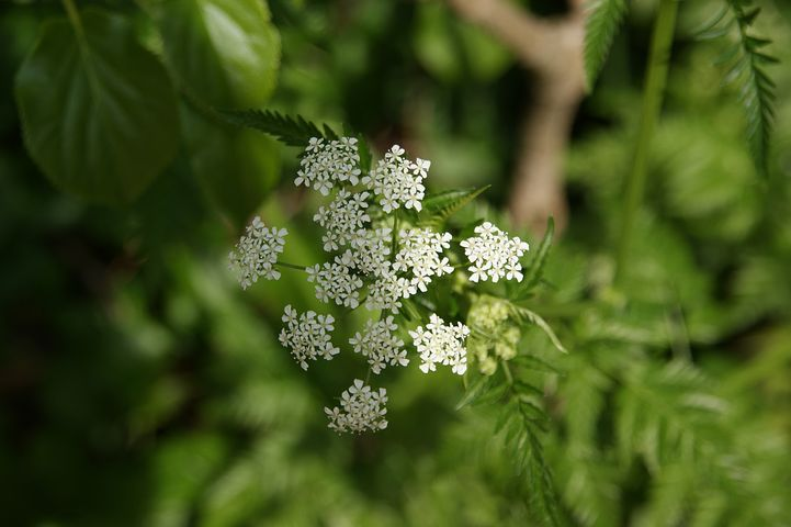 Cow Parsley - Not a Food For Guinea Pigs