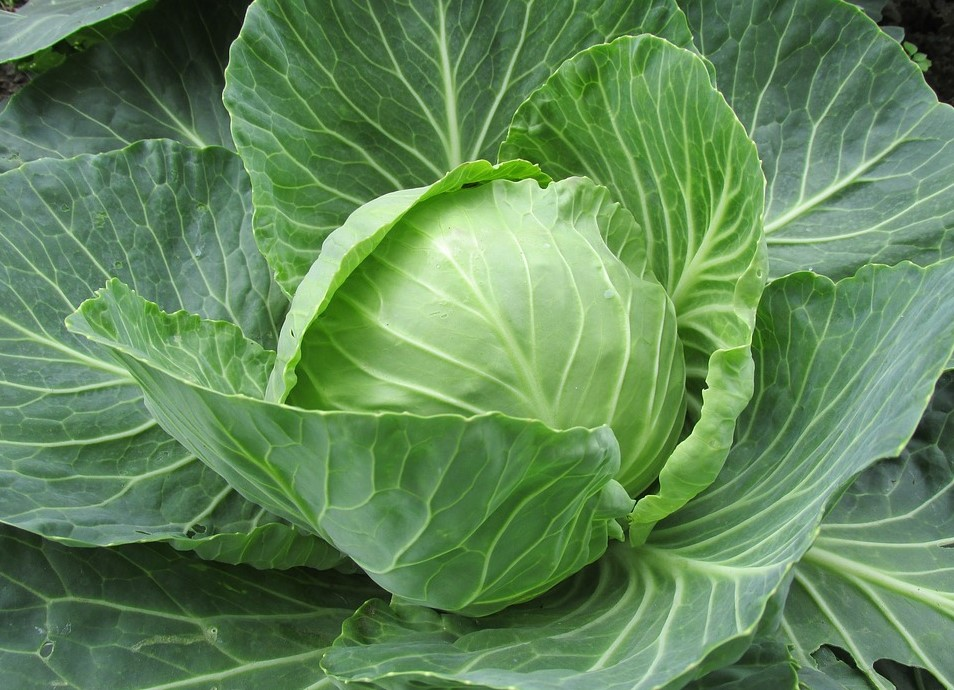 whole cabbage plant for guinea pigs