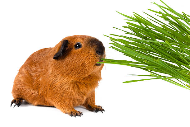 Grass - Healthy Food for Guinea Pigs