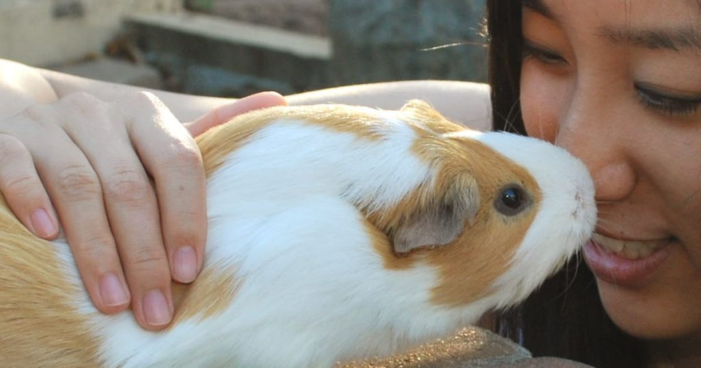 A picture showing guinea pig kissing its owner