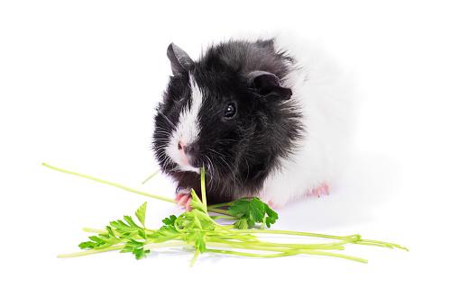 Guinea Pig Eating Parsley